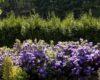 Hodowla Różaneczników w przydomowym ogrodzie.